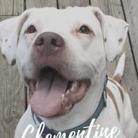 Adopt A Pet :: Clementine - Davison, MI