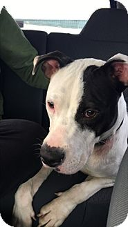 American Pit Bull Terrier Dog for adoption in Beaufort, North Carolina - PeeDee