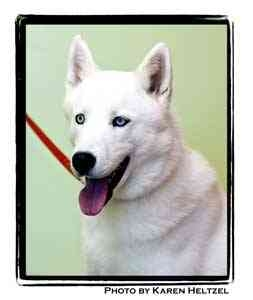 Husky Mix Dog for adoption in Warren, Pennsylvania - Nick