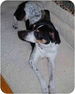 Rat Terrier Dog for adoption in Jacksonville, North Carolina - Rollie