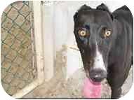 Greyhound Dog for adoption in St Petersburg, Florida - Paula