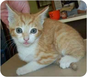 Domestic Shorthair Kitten for adoption in North Judson, Indiana - Sandy