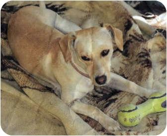 Beagle/Dachshund Mix Dog for adoption in San Pedro, California - Buffy