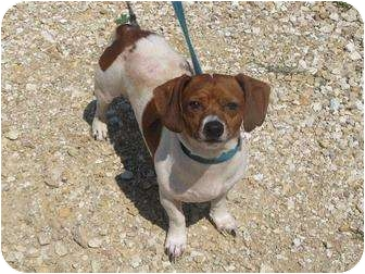 Jack Russell Terrier/Dachshund Mix Dog for adoption in Monmouth, Illinois - Stubby