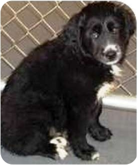 Newfoundland/Border Collie Mix Puppy for adoption in Oswego, Illinois - I'M ADOPTED Jillian Hein