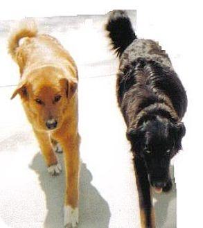 German Shepherd Dog Mix Dog for adoption in Corona, California - CODY
