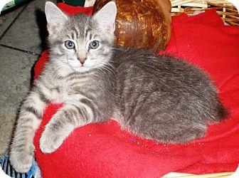 Manx Kitten for adoption in Norwich, New York - Donovan