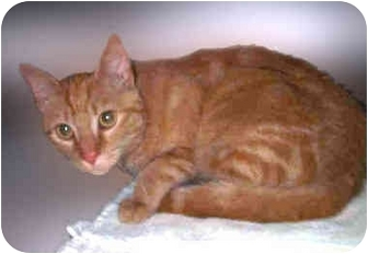 Domestic Shorthair Cat for adoption in San Clemente, California - TANGERINE = 5 Born March 7th