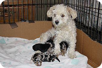 Bichon Frise/Australian Shepherd Mix Puppy for adoption in California City, California - Lacy's Babies(males)