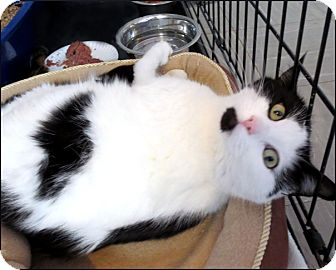 Domestic Shorthair Cat for adoption in Colville, Washington - Lilly
