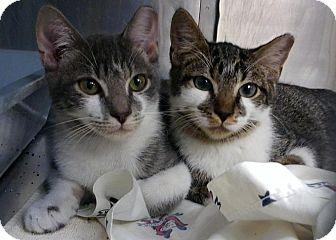Domestic Shorthair Kitten for adoption in Elmhurst, New York - Ickle Me