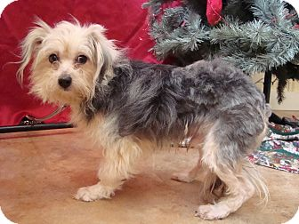 Yorkie, Yorkshire Terrier Mix Dog for adoption in Youngwood, Pennsylvania - Tank