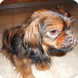 Pekingese Mix Dog for adoption in Brighton, Michigan - Chewy