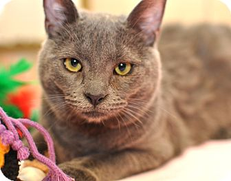 Domestic Shorthair Cat for adoption in Wilmington, Delaware - Molli