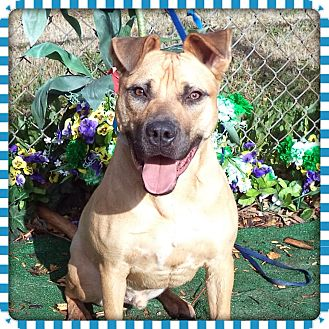 Boxer Mix Dog for adoption in Marietta, Georgia - BRODIE