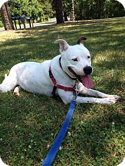 Pit Bull Terrier Mix Dog for adoption in Voorhees, New Jersey - Pearl