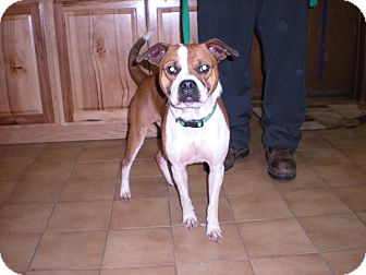 Terrier (Unknown Type, Medium)/Pug Mix Dog for adoption in New Castle, Pennsylvania - Stevie