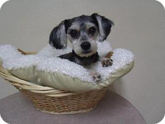 Schnauzer (Standard) Mix Dog for adoption in Gridley, California - Camilla