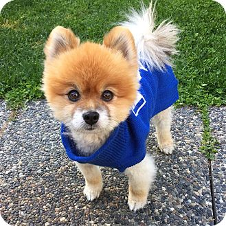 Pomeranian Dog for adoption in Barriere, British Columbia - Cooper - ADOPTION PENDING