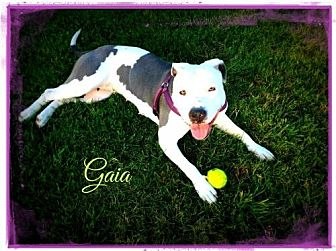 American Pit Bull Terrier/American Staffordshire Terrier Mix Dog for adoption in Dana Point, California - Gaia