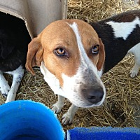 Treeing Walker Coonhound Mix Dog for adoption in E. Greenwhich, Rhode Island - Duncan