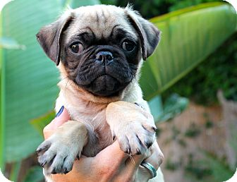 Pug Puppy for adoption in Los Angeles, California - Prime Rib