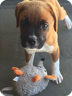 Boxer/Labrador Retriever Mix Puppy for adoption in Studio City, California - Garbo