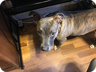 American Staffordshire Terrier Mix Dog for adoption in Grand Rapids, Michigan - Piglet