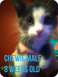 Domestic Shorthair Kitten for adoption in Glendale, Arizona - CHEWIE