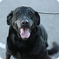 Adopt A Pet :: Noel - Canoga Park, CA