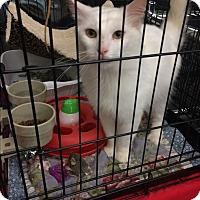 Adopt A Pet :: Midas fluffy white - Clay, NY