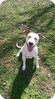 Pointer/Cattle Dog Mix Dog for adoption in Ashburn, Virginia - Journey Mae