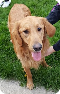 Golden Retriever Mix Dog for adoption in Albion, New York - Harley