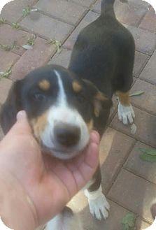 Coonhound Mix Puppy for adoption in Scottsdale, Arizona - Augie