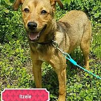 Adopt A Pet :: Itzele - Cincinnati, OH