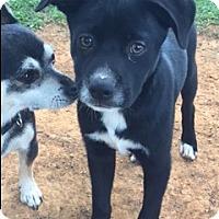 Adopt A Pet :: Ray - Monroe, NC
