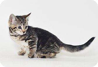 Domestic Shorthair Kitten for adoption in Fruit Heights, Utah - Alvin