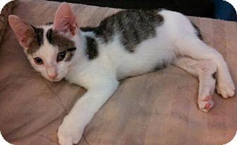 Domestic Shorthair Kitten for adoption in Oviedo, Florida - Alan