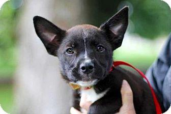 Australian Cattle Dog/French Bulldog Mix Puppy for adoption in Norfolk, Virginia - PUPPY BRIDGET