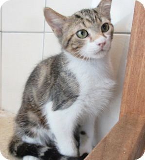 Domestic Shorthair Kitten for adoption in North Richland Hills, Texas - Oscar