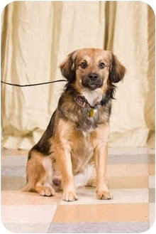 Tibetan Spaniel Mix Dog for adoption in Portland, Oregon - Ziggy
