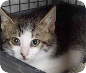 Domestic Shorthair Kitten for adoption in Randolph, New Jersey - Tabby Babies