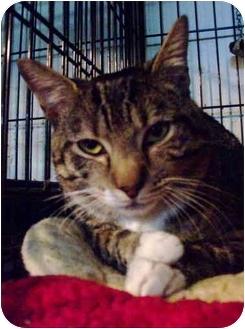 Domestic Shorthair Cat for adoption in Brooklyn, New York - Mango