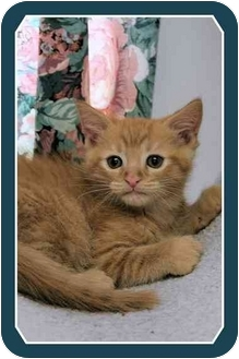 Domestic Shorthair Kitten for adoption in Sterling Heights, Michigan - James - ADOPTED!