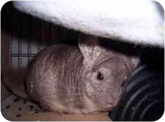 Chinchilla for adoption in Avondale, Louisiana - Freckles