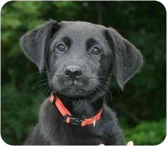 Labrador Retriever Mix Puppy for adoption in Ladysmith, Wisconsin - D0851