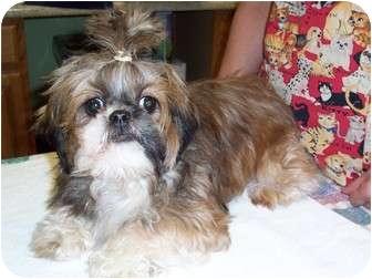 Shih Tzu Dog for adoption in Warren, Pennsylvania - Mitzie