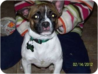 Boston Terrier/Chihuahua Mix Dog for adoption in Hayden, Idaho - Buster