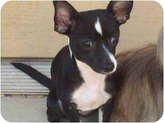 Chihuahua Puppy for adoption in Spring Valley, New York - Scarlett ($200 in New England)