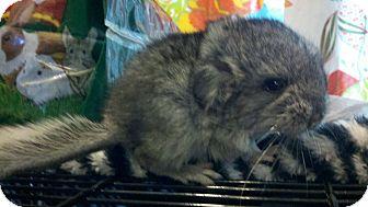 Chinchilla for adoption in Lindenhurst, New York - Popper